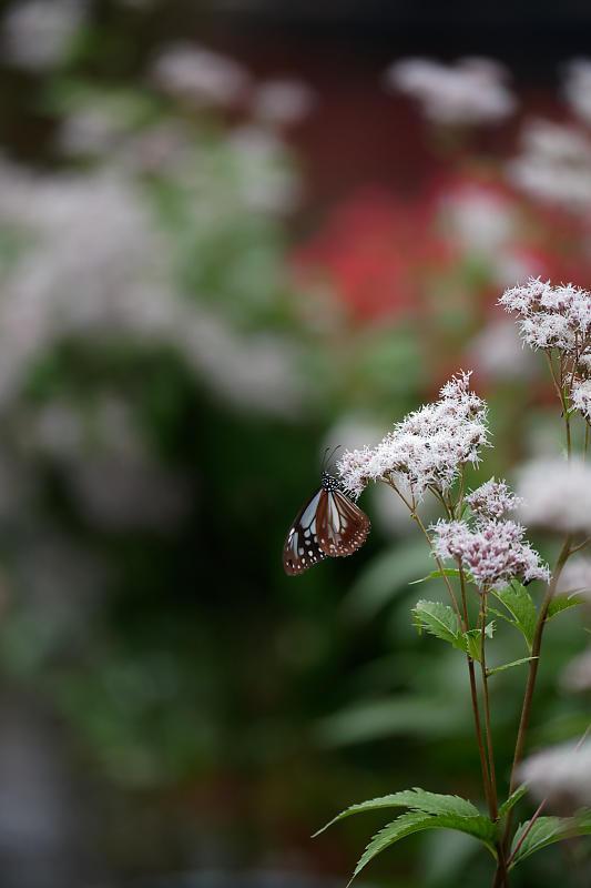 藤袴と和の花展@梅小路公園朱雀の庭_f0032011_20123762.jpg