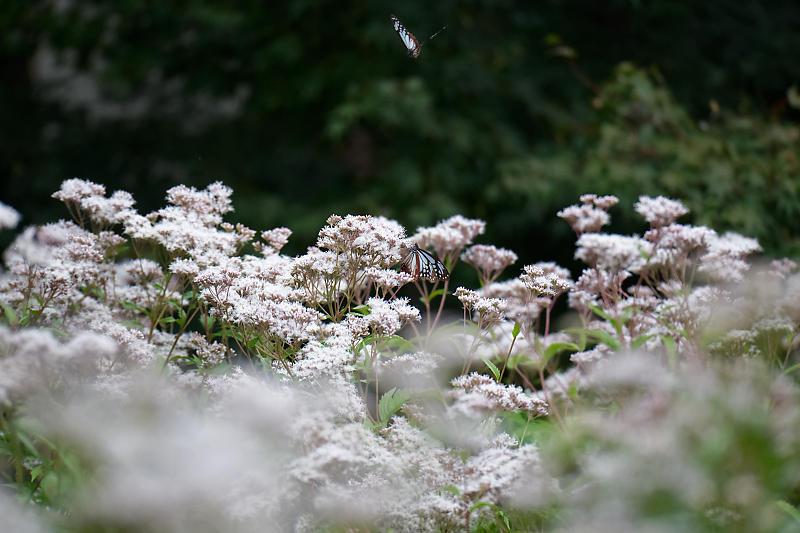 藤袴と和の花展@梅小路公園朱雀の庭_f0032011_20152600.jpg