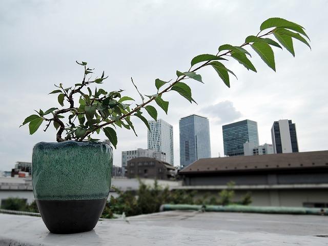 今日の鉢植えさん_c0062832_17530917.jpg