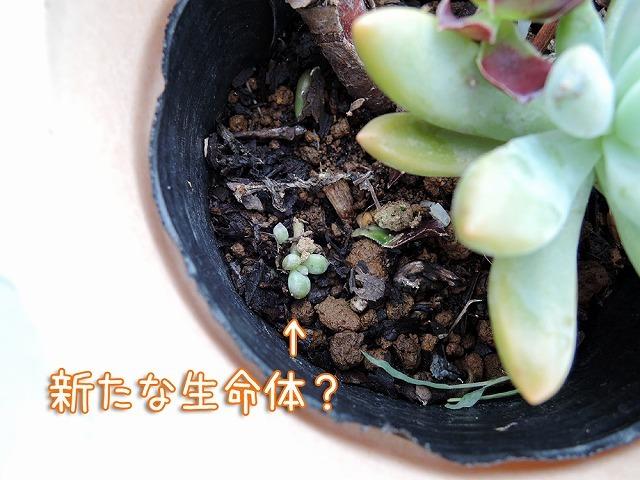 今日の鉢植えさん_c0062832_17530925.jpg