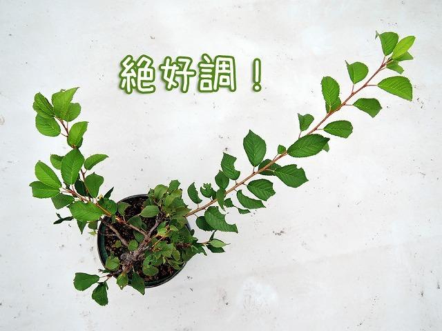 今日の鉢植えさん_c0062832_17530954.jpg