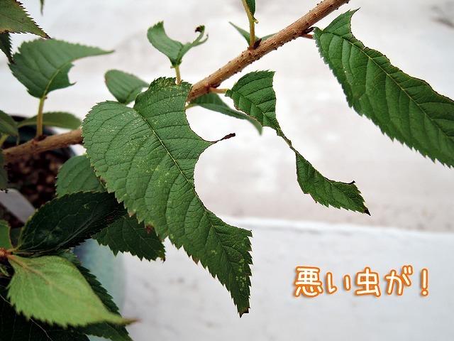 今日の鉢植えさん_c0062832_17530999.jpg