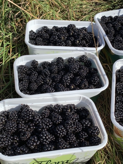 ブラックベリーの収穫_f0380234_18541918.jpg