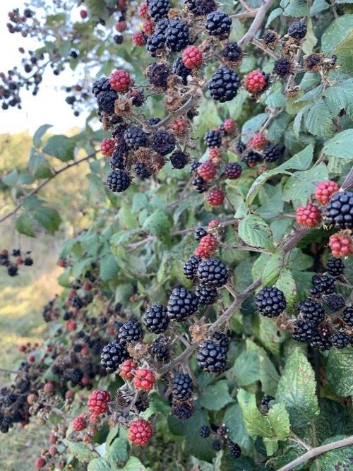 ブラックベリーの収穫_f0380234_18544667.jpg