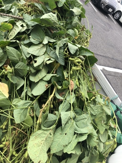 今年も収穫    枝豆。。枝豆ですよ_f0065444_11070479.jpeg