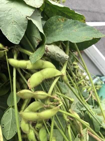 今年も収穫    枝豆。。枝豆ですよ_f0065444_11073571.jpeg