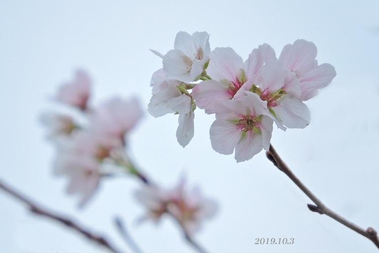 桜、開花しちゃいました。_d0251161_16432515.jpg