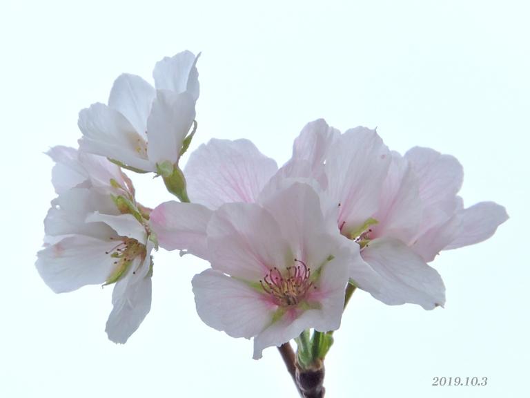 桜、開花しちゃいました。_d0251161_16434060.jpg