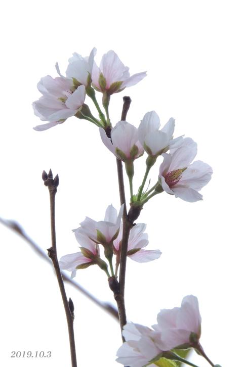 桜、開花しちゃいました。_d0251161_16442236.jpg