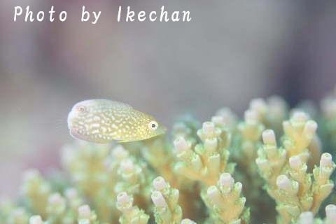 ピチピチでオシャレに目覚めた頃♪ ~ホシススキネラ若魚~_a0155467_19531044.jpg