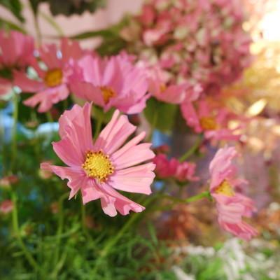 オークリーフ(オレンジ色やピンク色)_f0049672_18103324.jpg
