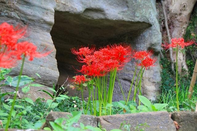 鎌倉の秋の花 英勝寺の彼岸花_f0374092_17235446.jpg