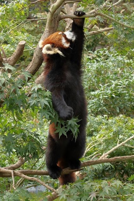 細い枝の上で立ち上がったレッサーパンダの、ひまわりちゃん。_b0291402_14584063.jpg