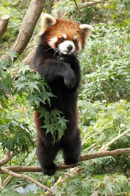 細い枝の上で立ち上がったレッサーパンダの、ひまわりちゃん。_b0291402_14584460.jpg