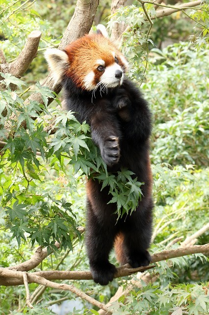 細い枝の上で立ち上がったレッサーパンダの、ひまわりちゃん。_b0291402_14585214.jpg