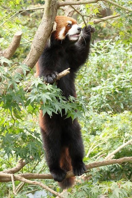 細い枝の上で立ち上がったレッサーパンダの、ひまわりちゃん。_b0291402_14590892.jpg