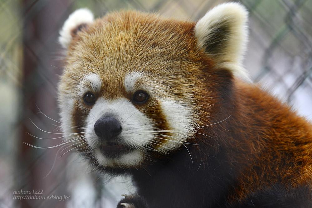 2019.5.19 東北サファリパーク☆レッサーパンダ【Lesser panda】_f0250322_19202062.jpg