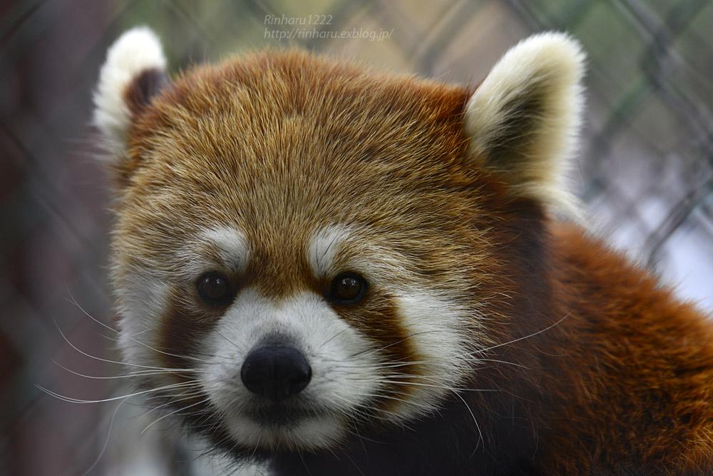 2019.5.19 東北サファリパーク☆レッサーパンダ【Lesser panda】_f0250322_19203649.jpg