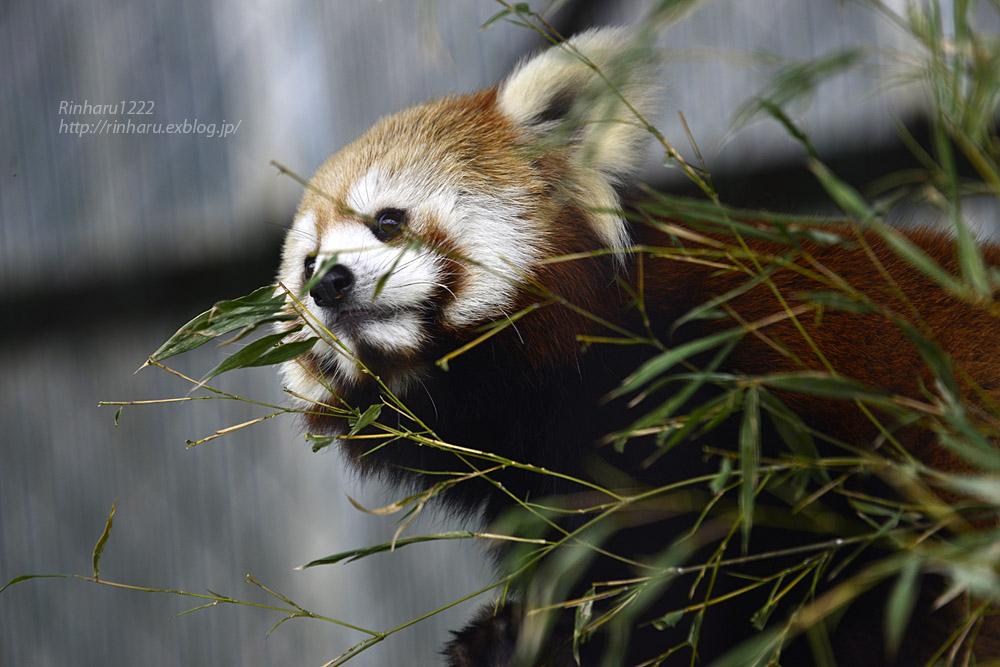 2019.5.19 東北サファリパーク☆レッサーパンダ【Lesser panda】_f0250322_192050100.jpg
