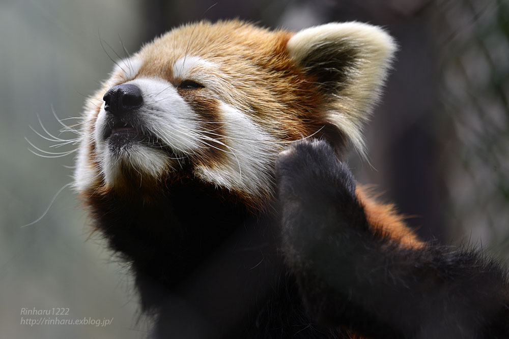 2019.5.19 東北サファリパーク☆レッサーパンダ【Lesser panda】_f0250322_19205632.jpg