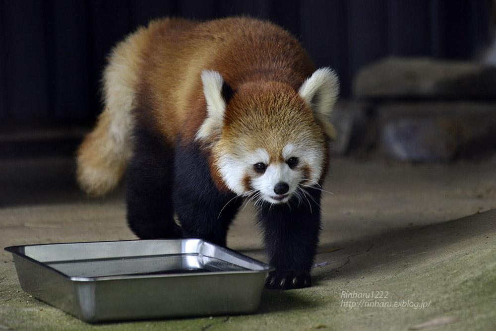 2019.5.19 東北サファリパーク☆レッサーパンダ【Lesser panda】_f0250322_19211748.jpg