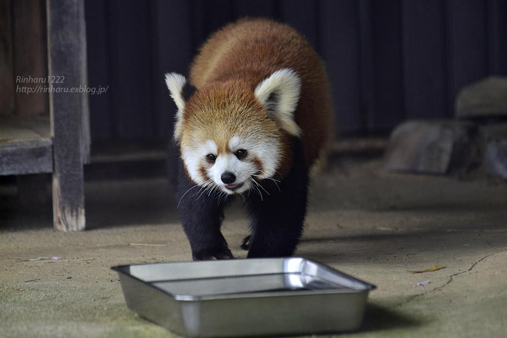 2019.5.19 東北サファリパーク☆レッサーパンダ【Lesser panda】_f0250322_1921241.jpg