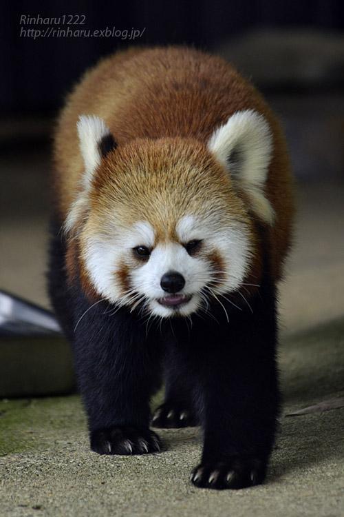2019.5.19 東北サファリパーク☆レッサーパンダ【Lesser panda】_f0250322_1921282.jpg
