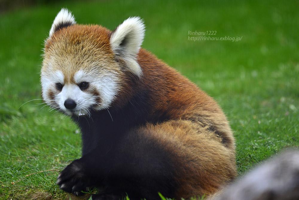 2019.5.19 東北サファリパーク☆レッサーパンダ【Lesser panda】_f0250322_19213055.jpg