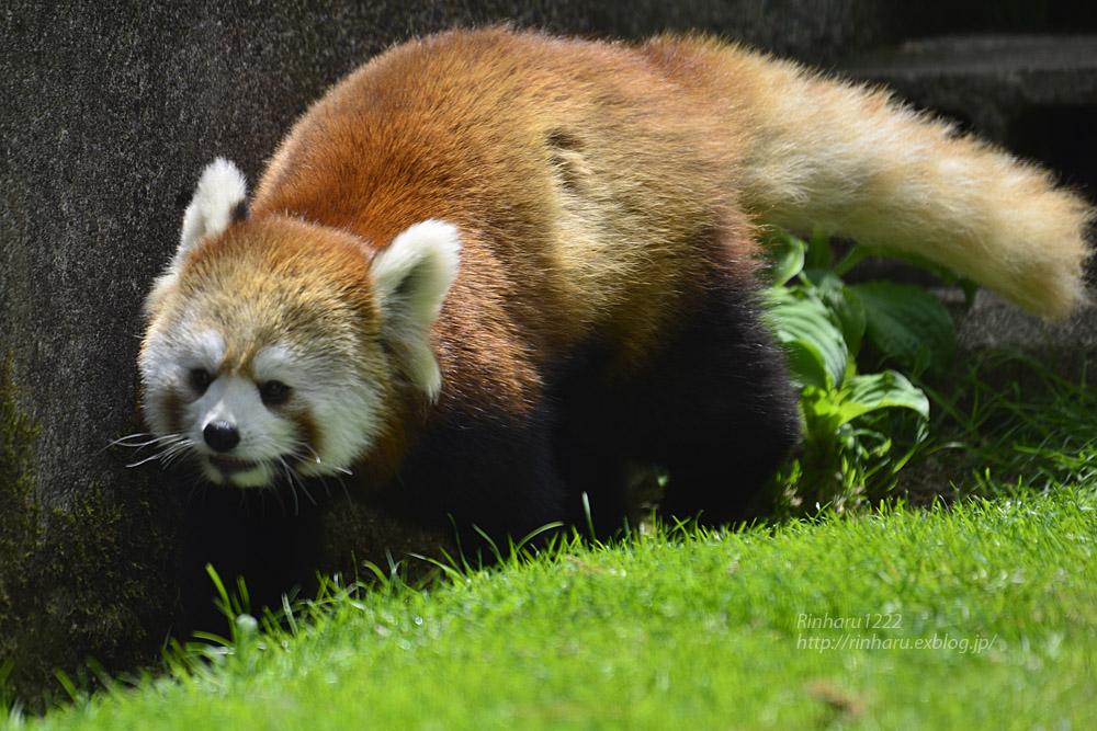 2019.5.19 東北サファリパーク☆レッサーパンダ【Lesser panda】_f0250322_19213816.jpg