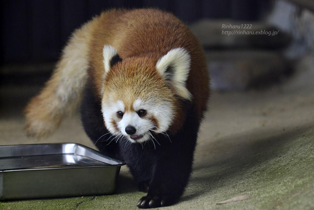 2019.5.19 東北サファリパーク☆レッサーパンダ【Lesser panda】_f0250322_1921977.jpg