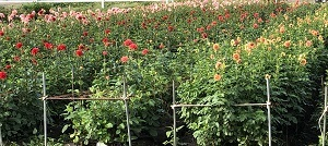 まだまだお花畑に癒してもらっています_c0369433_17563768.jpg