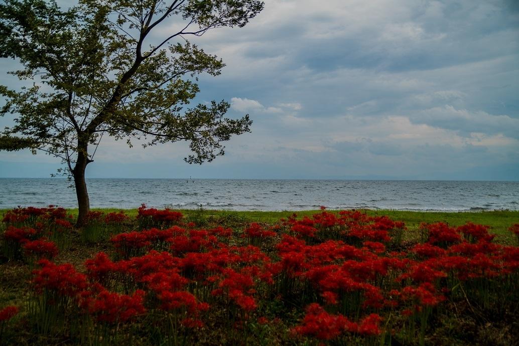 源氏浜と桂浜園地の彼岸花_e0363038_10370278.jpg