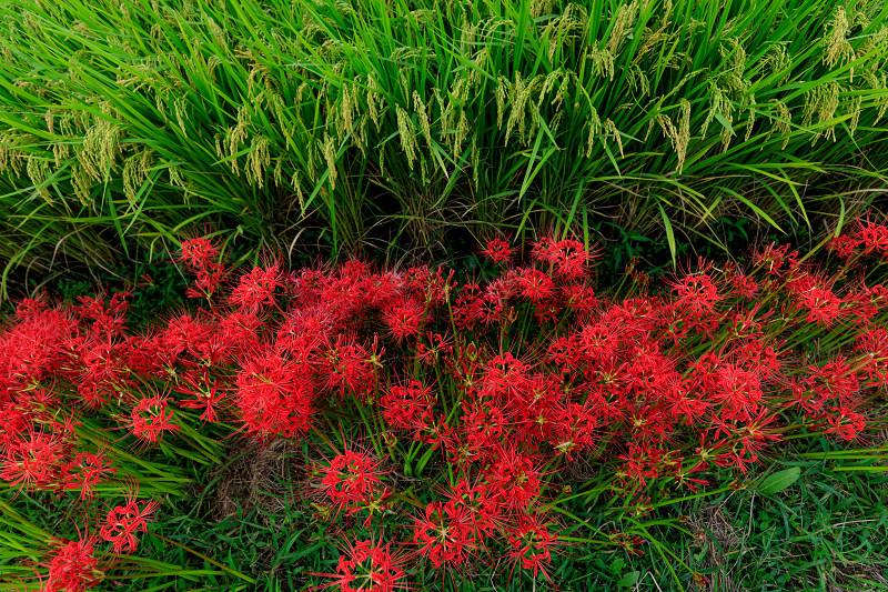 加茂の彼岸花(木津川市)_f0155048_23432852.jpg