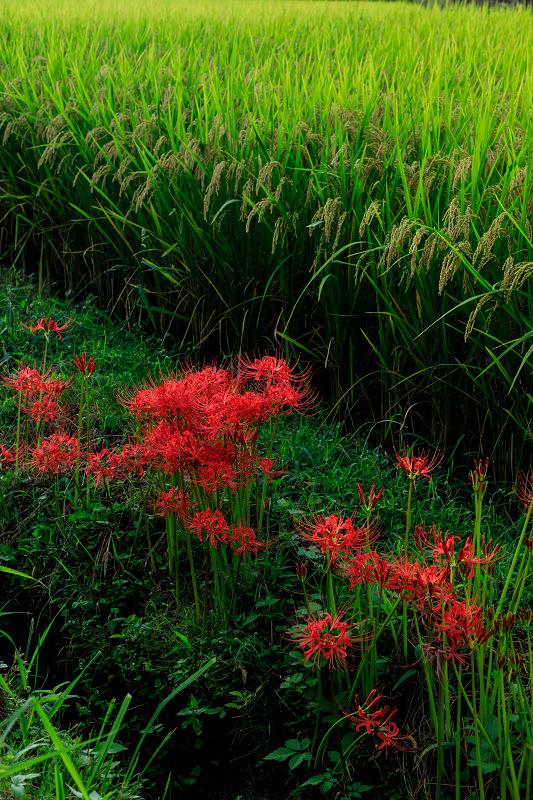 加茂の彼岸花(木津川市)_f0155048_23435370.jpg