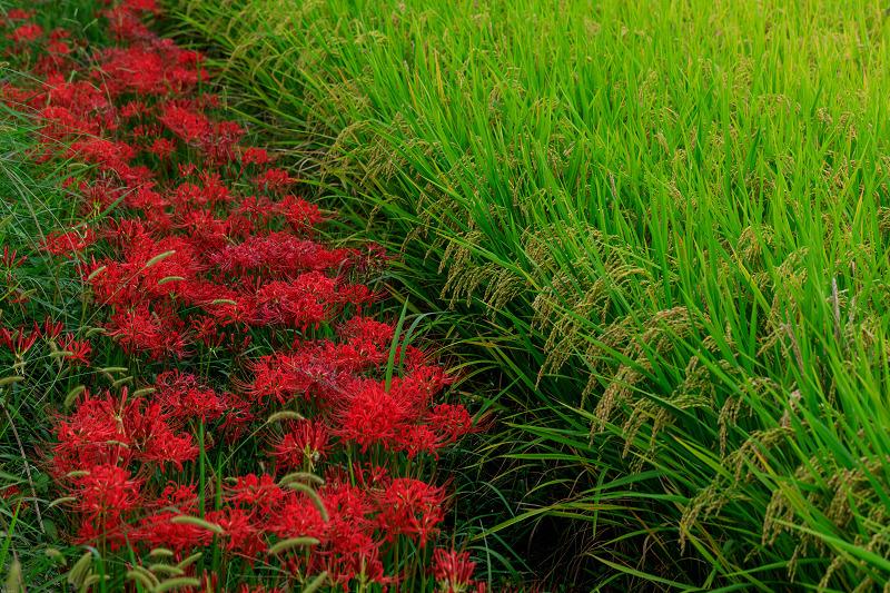 加茂の彼岸花(木津川市)_f0155048_23452861.jpg