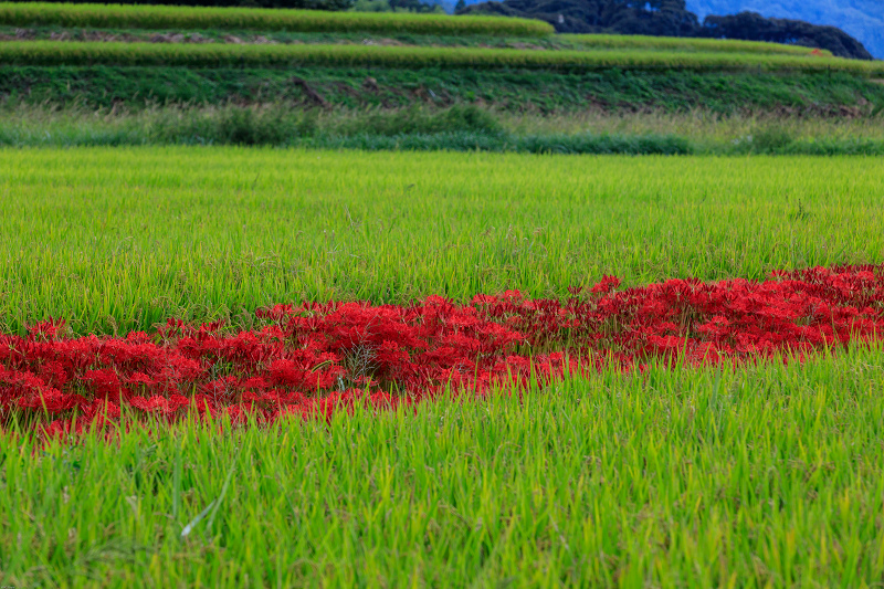 加茂の彼岸花(木津川市)_f0155048_2346344.jpg