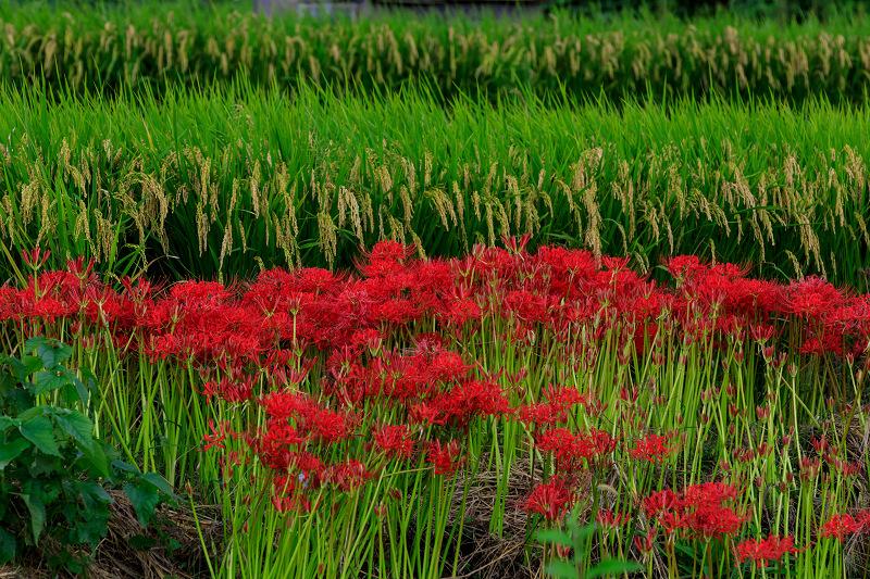 加茂の彼岸花(木津川市)_f0155048_23471282.jpg