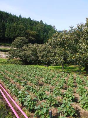 熊本県菊池市産、無農薬、無化学肥料で育てた、栗の王様『利平栗』今年(令和元年度)も完売御礼!_a0254656_16551837.jpg