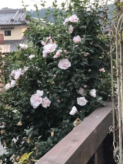 「ムクゲ」が次から次へと咲いています_a0243064_19300418.jpg