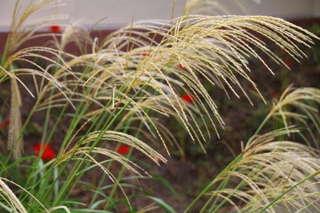 鎌倉の秋の花 英勝寺の芒_f0374092_18500928.jpg