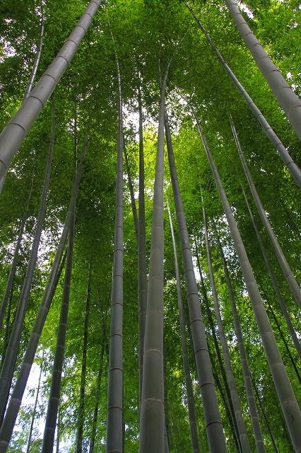 鎌倉の秋の花 英勝寺の芒_f0374092_18553428.jpg