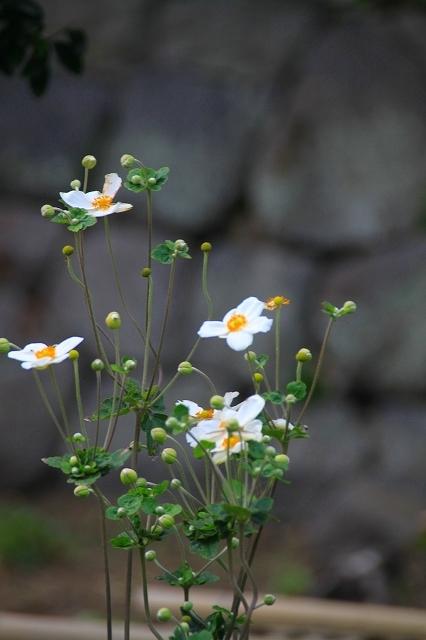 鎌倉の秋の花 英勝寺の芒_f0374092_18560127.jpg