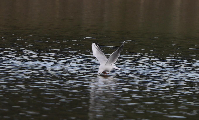 MFの沼でユリカモメ&アジサシに逢えた_f0239515_16123097.jpg