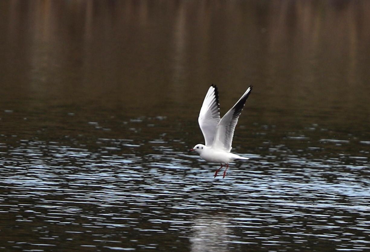 MFの沼でユリカモメ&アジサシに逢えた_f0239515_16131879.jpg