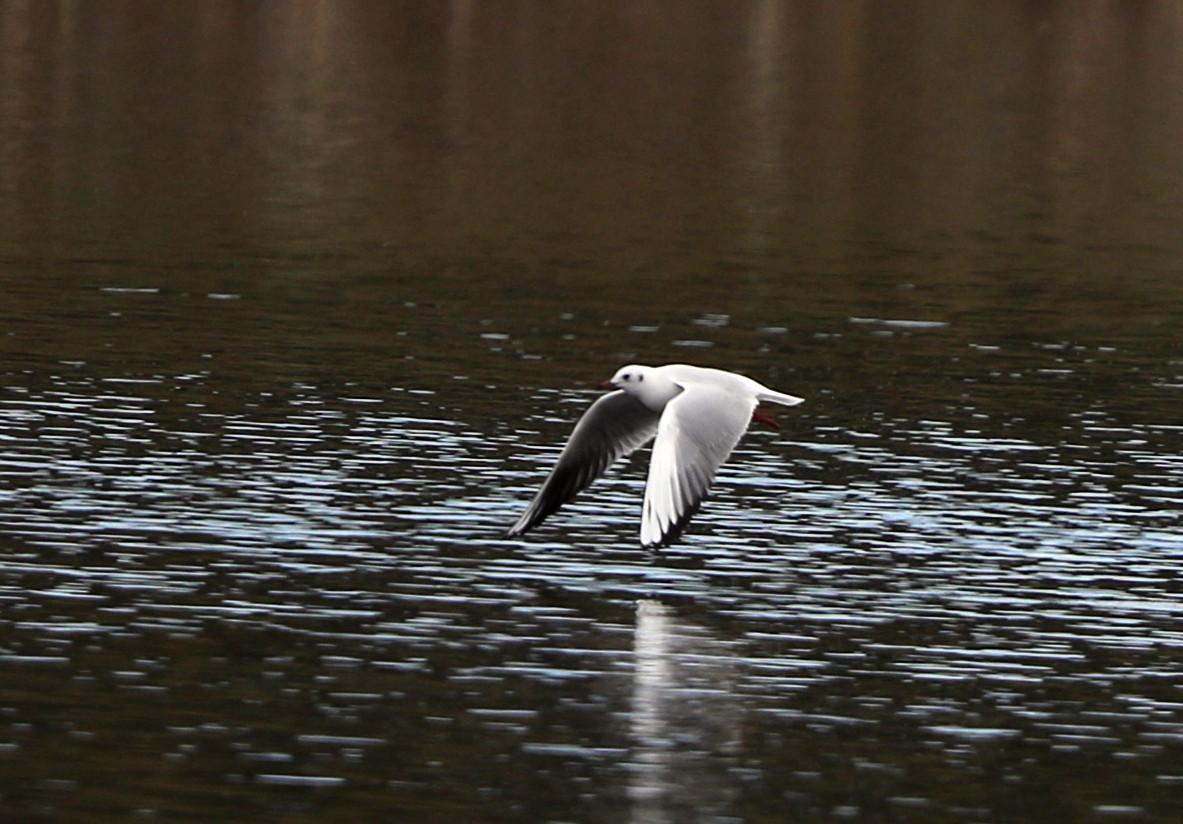 MFの沼でユリカモメ&アジサシに逢えた_f0239515_16153433.jpg