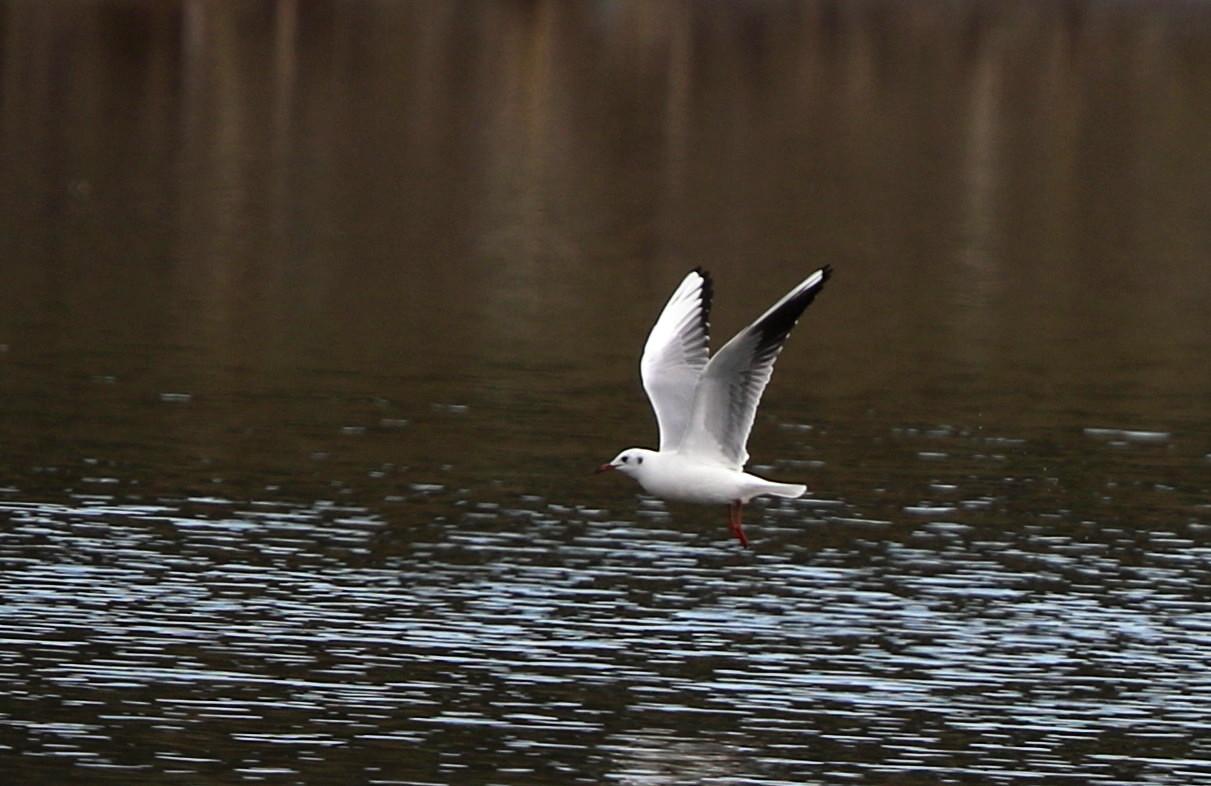 MFの沼でユリカモメ&アジサシに逢えた_f0239515_1616216.jpg