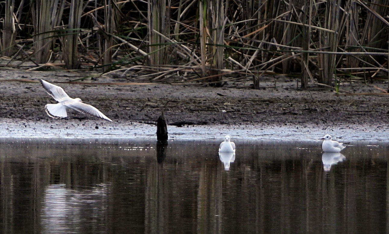 MFの沼でユリカモメ&アジサシに逢えた_f0239515_16163817.jpg
