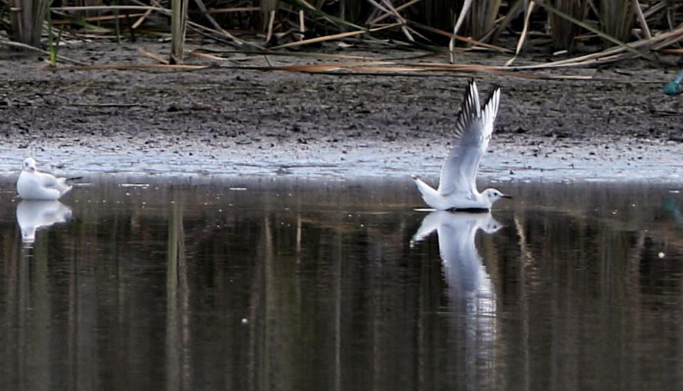 MFの沼でユリカモメ&アジサシに逢えた_f0239515_16172215.jpg