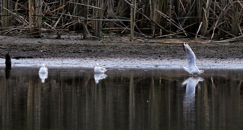 MFの沼でユリカモメ&アジサシに逢えた_f0239515_1617412.jpg
