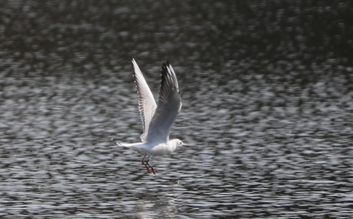 MFの沼でユリカモメ&アジサシに逢えた_f0239515_16181773.jpg